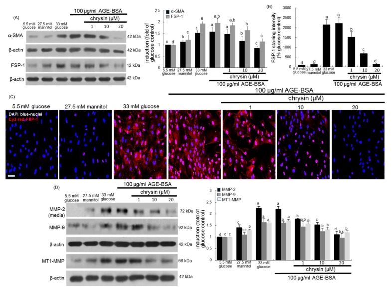 Suppressive effects of chrysin on cellular induction of α-SMA, fibroblast specific protein (FSP)-1, MM-2, MMP-9 and MT1-MMP in AGE-exposed HRMC. Renal mesangial cells were challenged for 3 days with 100 μg/mL AGE-BSA in the absence and presence of 1–20 μM chrysin. Cell extracts and media were subject to Western blot analysis with a primary antibody against α-SMA, FSP-1, MMP-2, MMP-9 or MT1-MMP ( A , D ). β-Actin protein was used as an internal control. The bar graphs in the right panel represent densitometric results obtained from Image analysis. The FSP-1 induction in AGE-exposed cells was immunocytochemically visualized as fluorescent Cy3 staining and nuclear counter-staining was done with the blue stain DAPI ( B , C ). Each photograph is representative of four different experiments and fluorescent images were taken with a fluorescence microscope. Scale bar = 100 µm. Fluorescent Cy3 staining intensity of FSP-1 was measured using an optical Axiomager microscope system ( B ). Values in bar graphs (mean ± SEM, n = 3 independent experiments) not sharing a same lower case indicate significant different at p