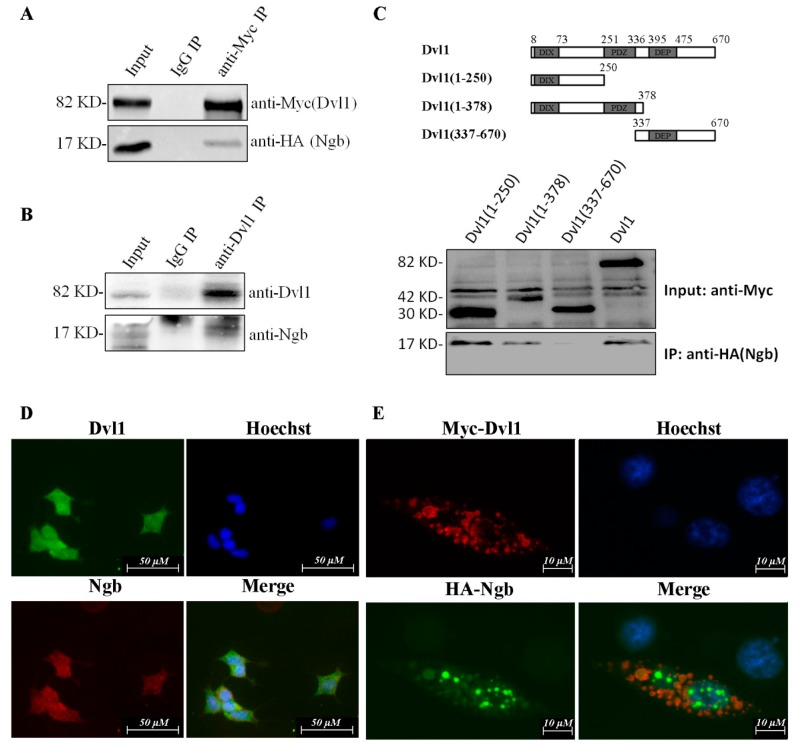 Neuroglobin <t>(Ngb)</t> interacts with Dvl1 in SKNSH cells. ( A ) HA-Ngb was co-transfected with Myc-Dvl1 in SK-N-SH cells. Cells were harvested after 24 h post-transfection. Cells extract (600 μg) were precipitated by anti-Myc rabbit <t>polyclonal</t> antibody or control Immunoglobulin G (IgG). Western blot was used to detect Myc-Dvl1 and HA-Ngb. ( B ) Cells extract (600 μg) were prepared and immunoprecipitation (IP) with rabbit anti-Dvl1 antibody or control rabbit IgG. Western blot was used to detect Dvl1 and Ngb. ( C ) Dvl1(1-250), Dvl1(1-378), Dvl1(337-670) or Myc-Dvl1 was co-transfected with HA-Ngb. After 24 h post-transfection, cells were harvested and IP with mouse anti-Myc monoclonal antibody. Western blot was used to detect Ngb. ( D ) SK-N-SH cells were seeded in 6-well plate. The mouse anti-Ngb monoclonal antibody and Texas Red-conjugated anti-mouse IgG (red) were used to detect Ngb protein. The rabbit anti-Dvl1 monoclonal antibody and Texas Green-conjugated anti-rabbit IgG were used to detect Dvl1 protein. Nuclei were stained by Hoechst 33258. The merged image showed the co-localization of Dvl1 and Ngb. ( E ) SK-N-SH cells were co-transfected with Myc-Dvl1 and HA-Ngb. The rabbit anti-HA polyclonal antibody and Texas Green-conjugated anti-rabbit IgG were used to detect HA-Ngb protein. The mouse anti-Myc monoclonal antibody and Texas Red-conjugated anti-rabbit IgG were used to detect Myc-Dvl1 protein. Nuclei were stained by Hoechst 33258. The merged image showed the co-localization of Myc-Dvl1 and HA-Ngb.