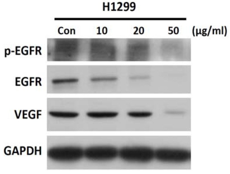 SH-EAE reduces the EGFR and VEGF signaling in NSCLC cells. Expression of phospho-EGFR (Tyr845), EGFR, and VEGF were analyzed by western blot in NSCLC cell line H1299. GAPDH was used as the loading control. Data are representative of three independent experiments.