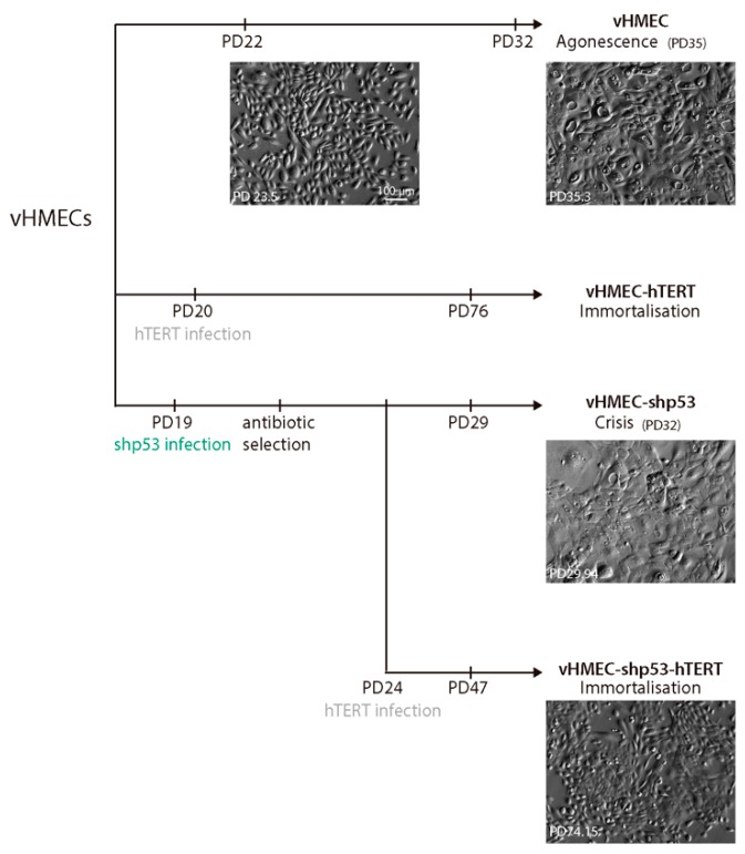 Scheme of the generation and analysis of different vHMEC cell lines. Young vHMECs were immortalised by transduction with hTERT containing lentivirus at PD20 to generate immortalised vHMECs. In addition, young vHMECs at PD19 were also infected with lentiviral particles containing the short hairpin <t>RNA</t> of <t>p53</t> under the hU6 constitutive promoter to generate p53 compromised finite vHMECs. After a period of selection with puromycin, the cells were expanded and subsequently immortalised with the hTERT lentivirus at PD24. Cytogenetic analysis was performed at PD22 and PD32 for young and aged vHMECs, respectively. Immortalised vHMECs (vHMEC-hTERT) were karyotyped at PD76 and at PD130 (not shown). Finite but p53-deficient vHMECs (vHMEC-shp53) were analysed at PD29 and the immortalised cell line derivative (vHMEC-shp53-hTERT) at PD47. Phase contrast images of the different cell lines at different PD are shown. Scale bar corresponds to 100 µm.