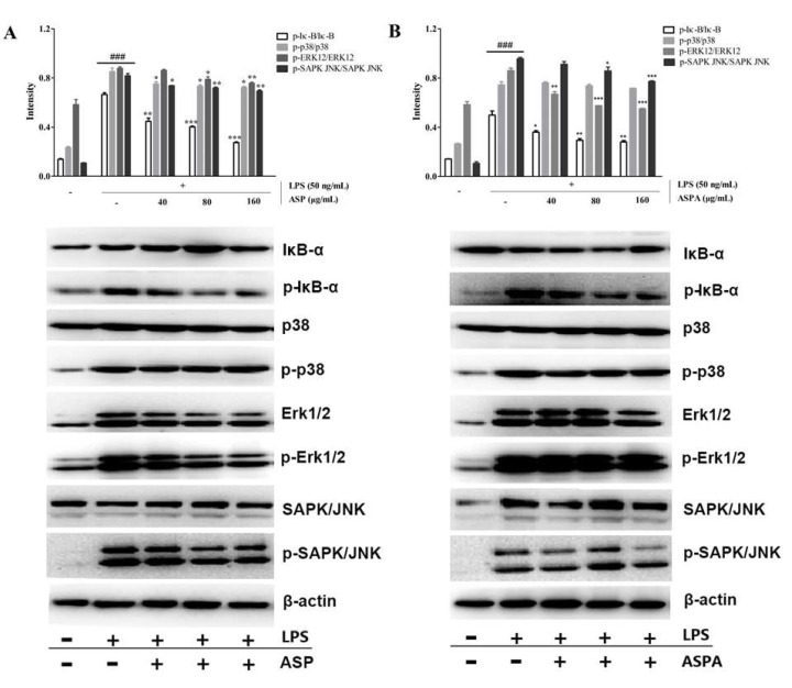 Effects of ASP and ASPA on nuclear factor-kappaB alpaha (IκBα), p38, extracellular signal-regulated protein kinases 1/2 (Erk1/2), and stress-activated protein kinase (SAPK)/c-Jun N-terminal kinase (JNK) phosphorylation. RAW 264.7 cells were treated with ASP and ASPA (40, 80, and 160 μg/mL) for 1 h and then induced with LPS (50 ng/mL) for 24 h. The protein was analyzed by Western blot. The quantitative evaluation of protein bands by densitometry is shown. ( A ) The phosphorylation levels of IκBα, p38, Erk1/2, and SAPK/JNK in ASP treatment groups. ( B ) The phosphorylation levels of IκBα, p38, Erk1/2, and SAPK/JNK in ASPA treatment groups. * p
