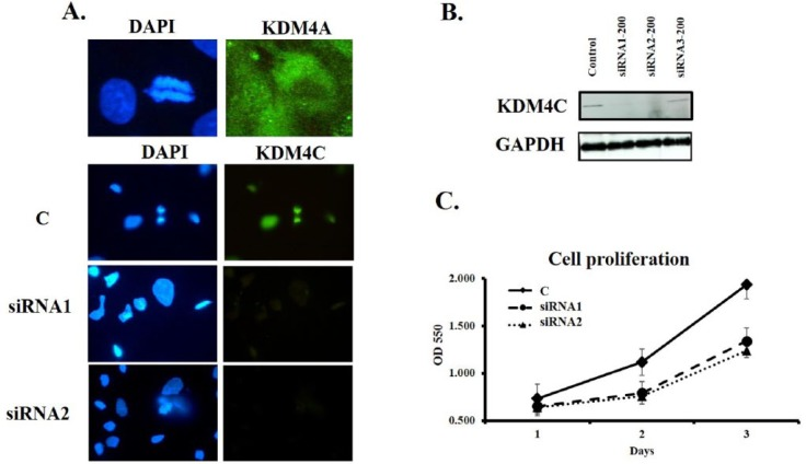 KDM4C depletion by siRNA treatment and its effect on cell proliferation. All images and data correspond to representative samples of at least two independent experiments performed by triplicate (A) IFAs with siRNA-treated or untreated HCC38 cells, determined as Methods section description. Note that KDM4C, but no KDM4A, is present on mitotic chromosomes during mitosis, and the significant reduction on fluorescence intensity for siRNA1 and siRNA2 samples with respect to the untreated cells, where KDM4C signal collocates with DAPI staining. (B) Western blot of total protein extracts from cells treated with each siRNA compared with total protein extracts from control cells treated with Lipofectamine RNAiMAX alone. Glyceraldehyde-3-phosphate dehydrogenase (GAPDH) was used as a housekeeping gene. The intensity of the bands was analyzed by ImageJ software (NIH, USA) showing a reduction on KDM4C levels up to 85% (Data not shown), for the treatment with siRNAs 1 and 2, while a third tested siRNA 3C was not able to significantly reduce KDM4C expression and it wasn't considered for further experiments. (C) Cell proliferation assays. Optical density at 5550 nm was evaluated at 24 hour and 48 hour by an MTT assay, with a significant reduction in the Optical density at 550 nm for siRNAi-treated cells (1 and 2) with respect to the control (C).