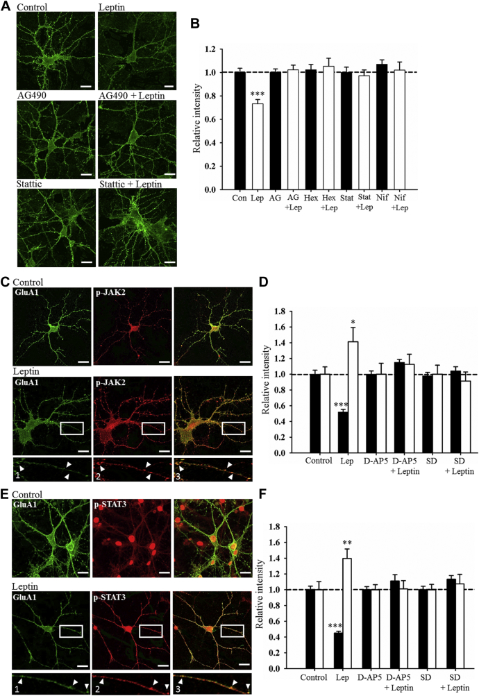 """Leptin-driven internalization of GluA1 requires JAK2-STAT3 signaling. (A) Representative confocal images of surface GluA1 immunolabeling in 8–12 DIV hippocampal neurons in control conditions and after application of leptin (50 nM; 30 minutes), AG490 (10 μM), stattic (50 μM), and leptin plus AG490 or stattic. The ability of leptin to internalize GluA1 was reduced after JAK2-STAT3 inhibition. Scale bars represent 20 μM. (B) Histogram of pooled data illustrating the relative intensity of surface GluA1 in control conditions and after treatment with leptin, and in the combined presence of AG490 (10 μM), hexabromocyclohexane (50 μM), stattic (50 μM), and nifuroxazide (5 μM). Inhibition of JAK2-STAT3 signaling prevents leptin-driven GluA1 internalization in culture. (C) Representative confocal images of surface GluA1 (green) and p-JAK2 (red) in control and leptin-treated hippocampal neurons (8–12 DIV). """"1"""", """"2"""", and """"3"""" are zoomed in dendritic regions of the representative images and show co-localization of surface GluA1 and p-JAK2 labeling. Application of leptin reduces surface GluA1 labeling and this is accompanied by increased p-JAK2 levels. (D) Histogram of pooled data showing the relative intensity of surface GluA1 (filled bars) and p-JAK2 (open bars) labeling in control conditions and after leptin (50 nM; 30 minutes), D-AP5 (50 μM), and SD-1008 (10 μM) treatment or in the presence of leptin plus D-AP5 or SD-1008. (E) Representative confocal images of surface GluA1 (green) and p-STAT3 (red) in control and leptin-treated neurons (8–12 DIV). """"1"""", """"2"""", and """"3"""" are zoomed in dendritic regions of the representative images and show co-localization of surface GluA1 and p-STAT3 labeling. Leptin reduces GluA1 surface expression and this is accompanied by an increase in p-STAT3. (F) Histogram of pooled data indicating the relative intensity of surface GluA1 (filled bars) and p-STAT3 (open bars) labeling in control conditions, after leptin (50 nM; 30 minutes), D-AP5 (50 μM), and"""
