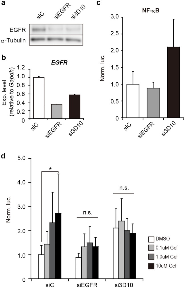 Effect of gene silencing against EGFR on NF-κB activation. ( a ) RNAi knockdown. PC-9 cells were subjected to gene silencing with siRNAs against total EGFR (siEGFR) or oncogenic mutant EGFR alleles [si746/50_3D10 (si3D10) targeting the 746/750 deletion in exon 19] in PC-9 cells. Non-silencing siRNAs (siControl: siC) were also examined as a negative control. 24h after introduction of siRNAs, EGFR was examined by western blotting. Alpha-tubulin was examined as an internal control. ( b ) EGFR mRNA levels. Indicated siRNAs were transfected into PC-9 cells as in a . The level of EGFR was examined by RT-qPCR and analyzed by the delta-delta Ct method using the data of Gapdh as a reference. The data were further normalized to the data obtained by siControl (siC) as 1. Data are shown as mean ± SD ( n = 3). ( c ) Activation of NF-κB. The pGL4-NF-κB-RE and phRL-Tk plasmids together with indicated siRNAs (20nM) were introduced into PC-9 cells. After 24h incubation, Dual-luciferase assay was carried out as in Fig 1b ( n = 6). ( d ) Effect of gefitinib on NF-κB activation under EGFR knockdown. Reporter plasmids and siRNAs were introduced into PC9 cells as in c . The cells were treated with 0, 0.1, 1.0 and 10μM of gefitinib (Gef). Dual-luciferase assay was carried out as in Fig 1b ( n = 6). Significant difference in cell viability between gefitinib and DMSO treatment was examined by one-way analysis of variance (ANOVA) (Dunnett's test; *p