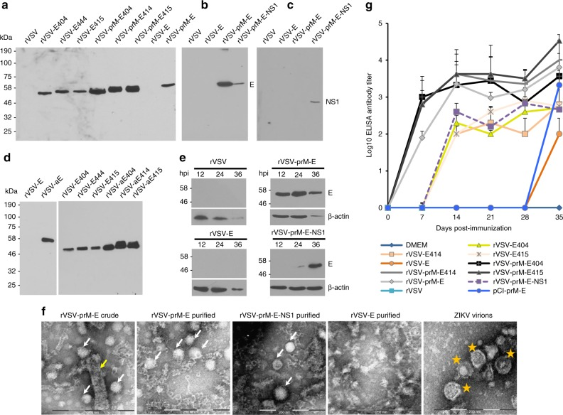 Recombinant rVSV expressing ZIKV antigens are immunogenic in mice. a Expression of ZIKV E truncations by VSV vector. BSRT7 cells were infected with each recombinant virus expressing ZIKV antigen at an MOI of 3.0. At 16 h post-infection, cells were lysed in 500 μl of lysis buffer, and 10 μl of lysate was analyzed by SDS-PAGE and were blotted with anti-ZIKV E protein monoclonal antibody. b Expression of full-length ZIKV E protein by VSV vector. BSRT7 cells were infected with the indicated recombinant virus expressing ZIKV antigen at an MOI of 3.0. Cell lysates were harvested at 16 h post-infection, and analyzed by western blot. c Expression of NS1 protein by VSV vector. Same cell lysates from b were subjected to western blot analysis using anti-ZIKV NS1 antibody. d Comparison of the expression of ZIKV E truncations with or without anchor C signal peptide by VSV vector. BSRT7 cells were infected with each recombinant virus at an MOI of 3.0. Cell lysates were harvested at 16 h post-infection, and analyzed by western blot. e Kinetics of ZIKV E protein expression by the VSV vector. Top panel: BSRT7 cells were infected with each recombinant virus at an MOI of 3.0. Cytoplasmic extracts were harvested at the indicated time points. Equal amounts of total cytoplasmic lysate were analyzed by SDS-PAGE, followed by western blot analysis. Bottom panel: Equal amounts of total cytoplasmic lysate were blotted with anti-β-actin antibody. f Electron microscopy analysis of ZIKV virus-like particles (VLPs). ZIKV VLPs were negatively stained with 1% ammonium molybdate and visualized by a transmission electron microscope. rVSV-prM-E crude indicates a mixture of ZIKV VLPs and VSV virions from supernatant harvested from BSRT7 cells infected by rVSV-prM-E. ZIKV VLPs were further purified from rVSV-prM-E or rVSV-prM-E-NS1-infected cells. No VLPs were found in rVSV-E. ZIKV Cambodian strain was grown in Vero cells, purified, and used as a control. The yellow arrow indicates a VSV particle; white