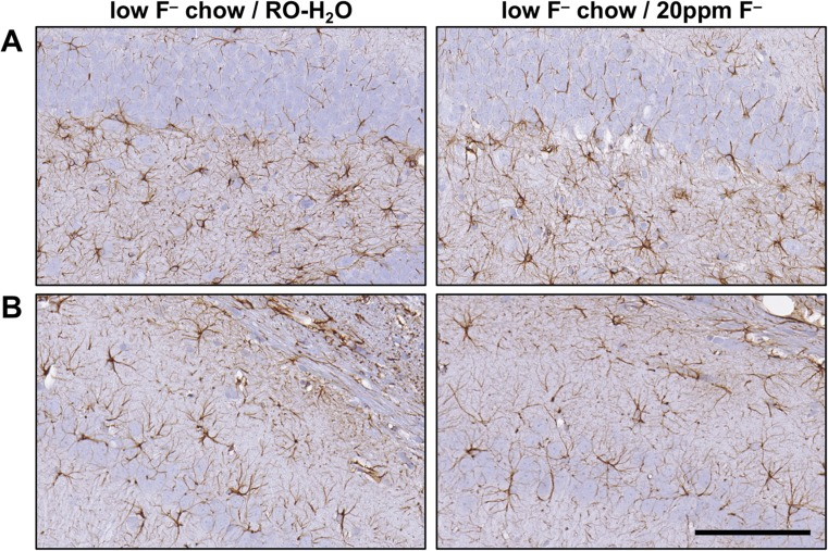 Representative images of GFAP+ astrocytes in the hippocampus of adult Long-Evans hooded male rats exposed to low-F − chow/RO-H 2 O or low-F − chow/20 ppm F − drinking water beginning on gestational day 6. ( a ) Suprapyramidal blade of the dentate gyrus. ( b ) CA1 pyramidal cell layer. Cells displayed normal process-bearing morphology with no evidence of hypertrophy. 3,3-diaminobenzidine staining (brown). Hematoxylin counterstain (blue) showed no disruption of the normal morphology of the hippocampal regions and no evidence of neuronal death. ( n = 6). Scale bar = 100 μm