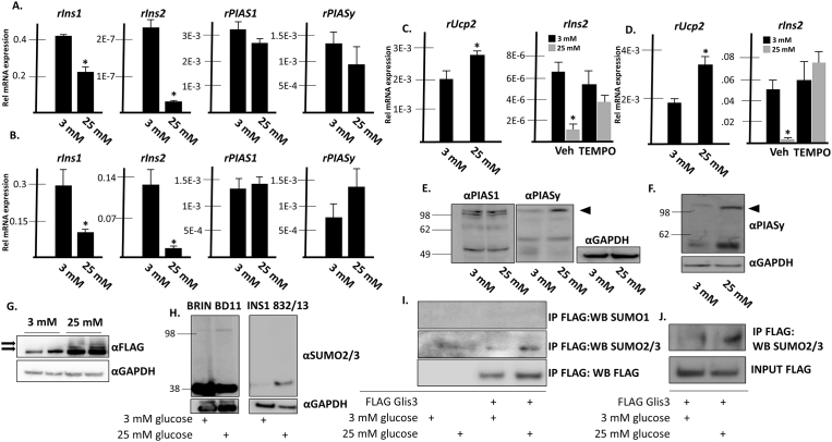 Glis3 is SUMOylated in BRIN BD11 cells under conditions of chronically elevated glucose. A. BRIN BD11 cells were grown in media containing 3 mM or 25 mM D-glucose. Media was changed after 24 h and after 48 h, total RNA was collected and the specified mRNA was measured by qRT-PCR analysis. A representative experiment is shown. Each bar represents relative mRNA levels normalized to 18s rRNA ± S.D. * indicates statistically different value compared to cells grown in 3 mM glucose p
