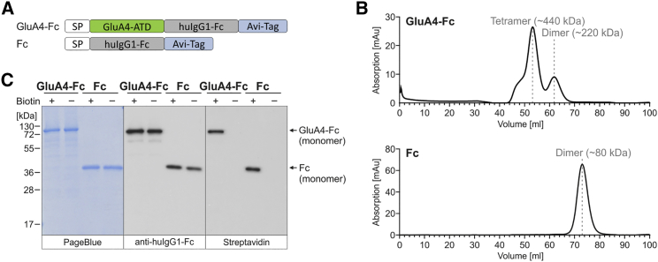 Expression and Purification of Recombinant Target Proteins for Ribosome Display (A) Schematic drawing of GluA4-Fc and Fc, two recombinant proteins used as targets for ribosome display. The GluA4-Fc construct consists of the amino-terminal domain (ATD) of the glutamate receptor subunit 4 (GluA4) fused N-terminally to the Ig kappa chain signal peptide (SP) and C-terminally to the constant region of human IgG1 (huIgG1-Fc) for detection and purification and an Avi tag for biotinylation. As control in selections, only huIgG1-Fc with Avi tag were expressed (directly fused to the signal peptide). (B) Chromatograms of size exclusion chromatography (SEC) of proteins expressed in and purified from the cell culture supernatant of HEK293T cells via protein A. The calculated molecular weight of the corresponding peaks is indicated. (C) Reducing SDS-PAGE and western blot analysis of SEC-purified GluA4-Fc and Fc proteins produced in the absence (−) or presence of biotin (+) added to the culture. 2 μg and 20 ng of purified proteins were loaded onto 10% SDS gels, respectively. Purified proteins were visualized by PageBlue protein staining solution and detected by a huIgG1-Fc-specific antibody. Biotinylated proteins were detected using streptavidin-HRP.