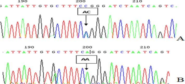 The polymorphism loci <t>rs734553</t> sequencing figure in 7 introns of SLC2A9 gene A:heterozygoustype (A/C); B: homozygous type (A/A)