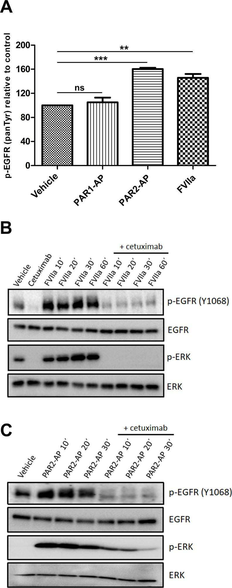 PAR2 transactivates the EGFR-ERK signaling pathway in CASKI cells ( A ) CASKI cells were starved for 16 h followed by stimulation with PAR1-AP (50 µM), PAR2-AP (50 µM) or FVIIa (20 nM) for 15 minutes. After cell lysis, equal amounts of protein were used for the determination of p-EGFR using the PathScan Phospho-EGF Receptor (panTyr) Sandwich ELISA Kit. Values represent mean + SD of three independent experiments; ns: not significant, ** P
