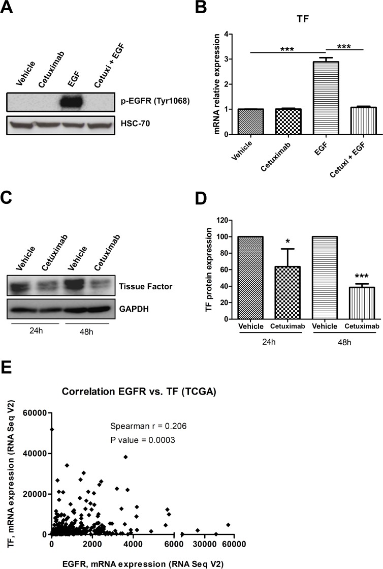 EGFR activation upregulates TF in cervical cancer cells ( A ) CASKI cells were starved for 16 h and were treated with cetuximab (100 µg/mL). One hour later, cells were stimulated with EGF (50 ng/mL). After 10 min, cells were lysed, and the levels of p-EGFR (Tyr 1068) and HSC70 (loading control) were determined by Western blotting (representative image from three experiments). ( B ) After starving for 16 h, CASKI cells were treated with cetuximab (100 µg/mL). One hour later, cells were incubated with EGF (50 ng/mL). After treatment for 1.5 h, total RNA was extracted, and mRNA was converted into cDNA. Gene expression assay for TF ( F3 gene) was performed by quantitative PCR. GAPDH was used as a housekeeping gene. The relative expression level of mRNA was calculated using the ΔΔCT method. Values represent mean + SD of four independent experiments; *** P