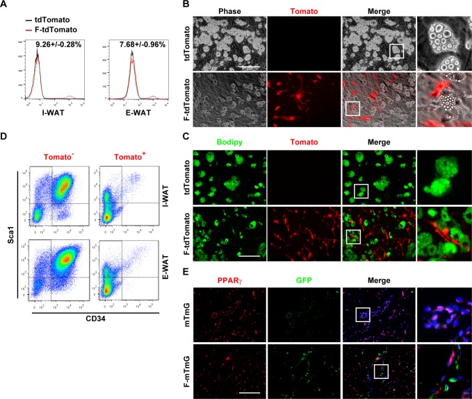 FSP1 + fibroblasts localize adjacent to preadipocytes without adipogenic potential. (A) FACS analyses of tdTomato + cells in SVF cells isolated from I-WAT and E-WAT of 4-month-old Rosa26-tdTomato (mT) and Fsp1 - Cre ; tdTomato (F-mT) mice. (B, C) SVF cells isolated from Rosa26-tdTomato (mT) and Fsp1 - Cre ; tdTomato (F-mT) I-WAT were adipogenically induced. Cells were stained with Bodipy 493/503 (panel C). Scale bar: 200 μm. (D) FACS analyses of CD34 + Sca1 + cells in I-WAT and E-WAT SVF of 4-month-old Fsp1 - Cre ; tdTomato mice. (E) Immunofluorescent staining of GFP and PPARγ on I-WAT sections of 4-month-old mTmG and Fsp1 - Cre ; mTmG (F-mTmG) mice. Scale bar: 200 μm. CD34, cluster of differentiation 34; E-WAT, epididymal white adipose tissue; FACS, fluorescence-activated cell sorting; FSP1, fibroblast-specific protein-1; GFP, green fluorescent protein; I-WAT, inguinal white adipose tissue; PPARγ, peroxisome proliferator-activated receptor-γ; Sca1, stem cell antigen 1; SVF, stromal vascular fraction.
