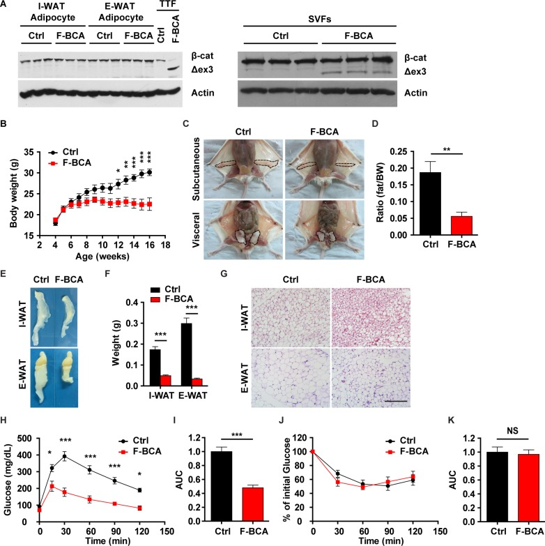 Activation of canonical Wnt signaling in FSP1 + fibroblasts disturbs adipose homeostasis. (A) Western blot analyses of β-catenin expression in adipocytes (left panels) and SVF cells (right panels) isolated from WAT from F-BCA compound mice and their littermates with WT, Fsp1 - Cre , or Ctnnb1 exon 3 fl/+ genotypes (Ctrl). TTFs were used as a positive Ctrl for activated form β-catenin expression. (B) Body weight of male F-BCA mice and their littermates on ND. n = 9 for male Ctrl mice, and n = 10 for male F-BCA mice. (C) Ventral view of subcutaneous and visceral adipose depots of male Ctrl and F-BCA littermates on ND at 4 months of age. Adipose depots are circled with dashed lines. (D) Percent body fat (NMR spectroscopy) of Ctrl and F-BCA littermates on ND at 4 months of age. n = 6 for male Ctrl and F-BCA mice. (E, F) Representative pictures and weight of the adipose tissues of F-BCA mice and their littermates on ND at 4 months of age. n = 8 for male Ctrl mice, and n = 14 for male F-BCA mice. (G) HE staining of WAT sections of 4-month-old F-BCA mice and their littermates on ND. Scale bar: 200 μm. (H) GTT of F-BCA mice and their littermates on ND at 4 months of age. n = 13 for male Ctrl mice, and n = 5 for male F-BCA mice. (I) Quantification of the AUC of the GTT relative to Ctrl group. (J) ITT of F-BCA mice and their littermates on ND at 4 months of age. n = 10 for male Ctrl mice, and n = 5 for male F-BCA mice. (K) Quantification of the AUC of the ITT relative to Ctrl group. Data are presented as mean ± SEM. Statistical analyses were performed with two-tailed unpaired student t test (panel D, F, I, and K) or two-way ANOVA followed by Bonferroni's multiple comparison test (panel B, H, and J). * p