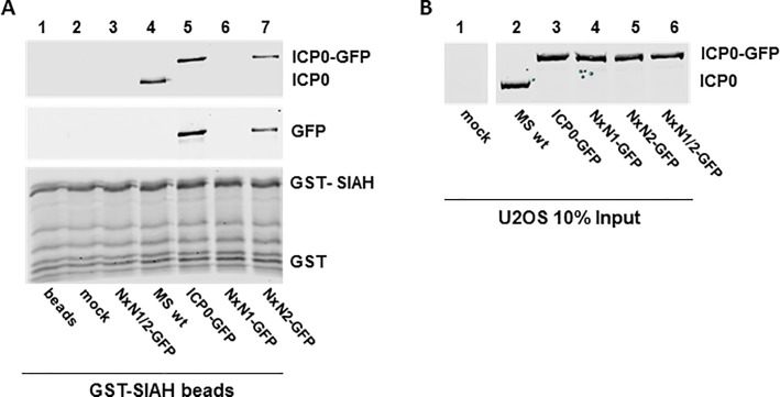 Virally expressed ICP0 NxN1/2 does not bind to SIAH-1. ( A ) U2OS cells were infected for 48 h with the indicated mutants and HSV-2 strain MS (MS wt) at an MOI 0.01 pfu/cell. Cell lysates were incubated with GST-SIAH-1-loaded glutathione sepharose beads. Eluates were analyzed by SDS-PAGE and Western blotting using antibodies directed against HSV-2 ICP0 and GFP. ( B ) Input controls (10%) of the GST-pulldown were analyzed as before using ICP0-specific antibody.