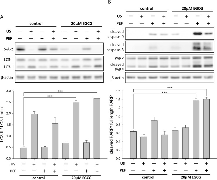 Effects of the combined triple treatment on the intracellular proteins in the PANC-1 cells. The protein expression levels of p-Akt, LC3-II, PARP, cleaved caspase-9, and cleaved caspase-3 were measured using Western blot analysis. β-actin was used as a loading control. (A) The triple treatment decreased the phosphorylation of Akt protein and increased the conversion of LC3-I to LC3-II. The band intensities of LC3-II and LC3-I were quantified to calculate the LC3-II/LC3-I ratio. (B) Apoptotic proteins were activated after the cells were treated with the combined triple treatment. The cleaved PARP was quantified relative to the full-length PARP. These results suggested that both the apoptosis and the autophagy were triggered in the PANC-1 cells by the triple combined treatment. (*** is used for P