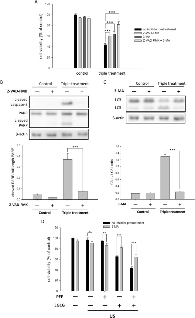 Effects of the autophagy and apoptosis inhibitors on the triple treatment-induced growth inhibition in the PANC-1 cells. The 3-MA and Z-VAD-FMK were used for the autophagy and apoptosis inhibitor analysis, respectively. (A) The PANC-1 cells were pretreated with the autophagy inhibitor 3-MA and the caspase inhibitor Z-VAD-FMK before the triple treatment for 24 h. The result showed that both 3-MA and Z-VAD-FMK could partially enervate the triple treatment-induced growth inhibition in the PANC-1 cells. (B) The pretreatment of Z-VAD-FMK significantly reduced the levels of cleaved caspase-3 and cleaved PARP. The cleaved PARP was quantified relative to the full-length PARP. (C) The pretreatment of 3-MA blocked the conversion of LC3-I to LC3-II. The band intensities of LC3-II and LC3-I were quantified to calculate the LC3-II/LC3-I ratio. β-actin was used as a loading control for each Western blot assay. (D) To better understand the role of autophagy in the triple treatment, 3-MA pretreatment was applied to the combination treatments using US stimulation. (* is used for P