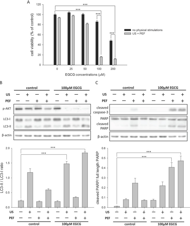 Effects of the combined triple treatment on the viability of the HepG2 cells. The cell viability (24 h) was determined using MTT assay. (A) The HepG2 cells were triple treated with the EGCG (0 to 200 μM), 0.3 W/cm 2 US exposure (60 min), and consecutive 60 V/cm PEF for 24 h. The result revealed that the triple treatment could overcome the tolerance of cancer cells to EGCG and cause the death of HepG2 cells. (B) The triple treatment decreased the phosphorylation of Akt protein and increased the conversion of LC3-I to LC3-II in the HepG2 cells. The band intensities of LC3-II and LC3-I were quantified to calculate the LC3-II/LC3-I ratio. (C) The triple treatment triggered the activations of caspase-3 and PARP in the HepG2 cells. The cleaved PARP was quantified relative to the full-length PARP. β-actin was used as a loading control for each Western blot assay. (*** is used for P