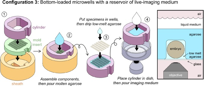 OMMAwell configurations for bottom-loaded microwells. Configuration 3: Bottom loaded microwells with a reservoir of live-imaging medium. (1) The insert (green) and cylinder (purple) are placed into the sheath (orange). (2) Molten agarose is poured into the cylinder to the desired depth. (3) Once the agarose has set, the cylinder and the agarose block are removed from the sheath and insert. The cylinder is flipped over, and the exposed microwells are loaded with embryos, as described in Fig. 2 . (4) The cylinder and agarose block are lowered into the glass-bottom dish, and live-imaging medium is added in the cylinder. Right: Schematic of embryo in Configuration 3.