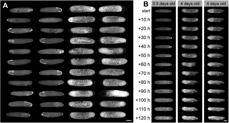 Arrays of live-imaged embryos within the OMMAwell mold. (A) A single timepoint from a time-lapse of an array of nuclear-marked transgenic cricket embryos in <t>microwells.</t> The two leftmost columns show germ band stage embryos that are beginning the physical re-orientation within the egg called anatrepsis. The two rightmost columns show a later stage when embryos are fully immersed in the yolk below the extraembryonic membrane called the serosa. (B) Time series of cricket embryos starting at different ages. The ambient temperature is ∼24°C, so development is slower than that reported by Donoughe and Extavour (2016) . Scale bars: 500 µm.