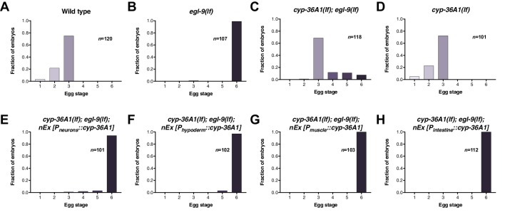 cyp-36A1 expression in multiple tissues rescues the egg-laying phenotype of cyp-36A1(lf); egl-9(lf) . ( A–H ) Distribution of stages of eggs laid by adult hermaphrodites of the indicated genotypes. All strains contained the agIs219 ( P T24B8.5 ::gfp ) transgene. ( A ) Stages of eggs laid by wild-type animals. ( B ) egl-9(sa307) animals laid later stage eggs than wild type (p