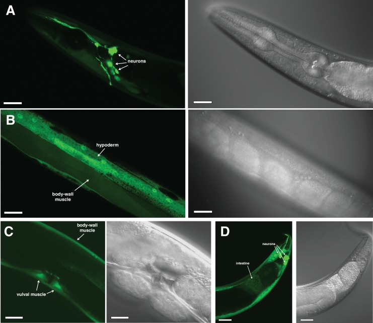 cyp-36A1 is expressed in many tissues. ( A–D ) Paired fluorescent (left in each panel) and Nomarski (right in each panel) micrographs showing expression of a transcriptional P cyp-36A1 ::gfp reporter ( nIs682 ) in an adult worm. Expression was observed in the head ( A ), midbody ( B and C ), and tail ( D ), including in neurons, body-wall muscle, vulval muscle, intestine, and hypoderm, as indicated. Scale bars, 20 μm.