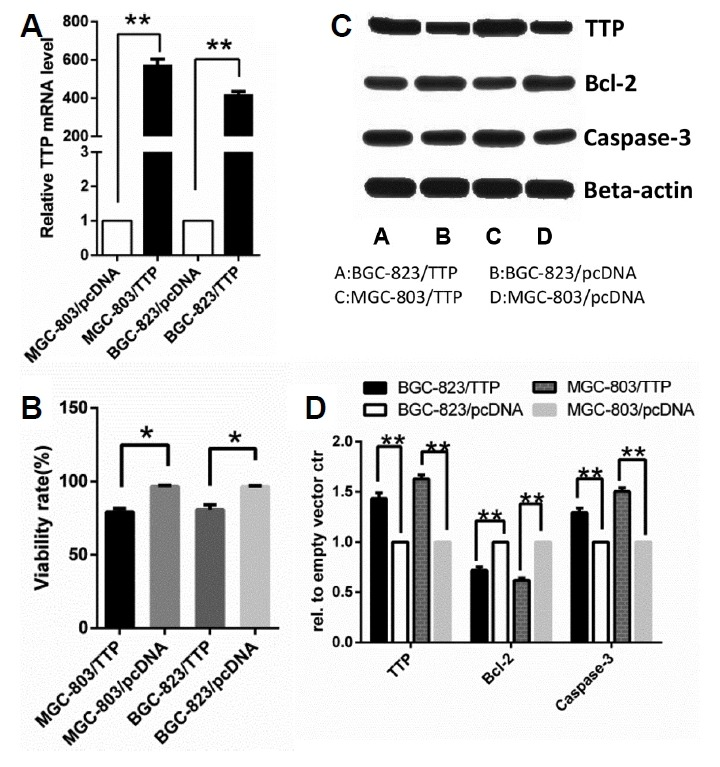 TTP overexpression reduced cell survival and promoted apoptosis in both MGC-803 and BGC-823 cells. MGC-803 and BGC-823 cells were transfected with pcDNA-TTP or empty vector pcDNA3.1 (+) (A) Relative expression of TTP mRNA in MGC-803/TTP and BGC-823/TTP cell lines and corresponding control group was examined by qRT-PCR. An empty vector ctr clone was used as the control. (B) The viability rate of GC cells was measured by trypan blue dye exclusion assay. (C) Expression of TTP protein level was examined by western blotting. Bcl-2 and cleavage of caspase 3 expression in MGC-803/TTP and BGC-823/TTP and the corresponding control group were analyzed by western blotting. GAPDH and β-actin were used as internal controls for qRT-PCR and western blotting analysis, respectively. (D) Quantifications of western blotting results was processed by Image J software. All data were represented as the mean ± SD of three independent experiments. *P