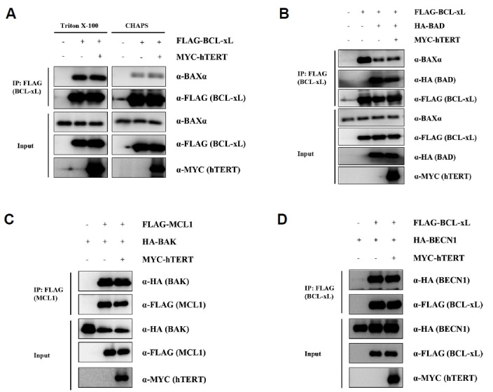 Modulation of BCL-2 family protein complexes by hTERT (A) Co-IP of BAX and BCL-xL in hTERT-overexpressing HEK 293T/17 cells. Cells were co-transfected with FLAG-BCL-xL and MYC-hTERT, and then lysed in either Triton X-100 or CHAPS buffer. FLAG-BCL-xL was immunoprecipitated with anti-FLAG beads, followed by western blot analysis with the indicated antibodies. No significant differences in BAX/BCL-xL ratios were observed after hTERT overexpression. (B) Co-IP of BAX and BCL-xL with BAD and hTERT overexpression. The cells were lysed with detergent containing Triton X-100. BAD can disrupt BAX/BCL-xL heterodimers, but hTERT did not affect the BAD-dependent BAX/BCL-xL complex ratios. (C) Co-IP experiment of BAK and MCL-1 with hTERT overexpression. (D) Co-IP analysis of BCL-xL and BECN1 with hTERT overexpression. The BECN1/BCL-xL interaction is not altered by hTERT overexpression.