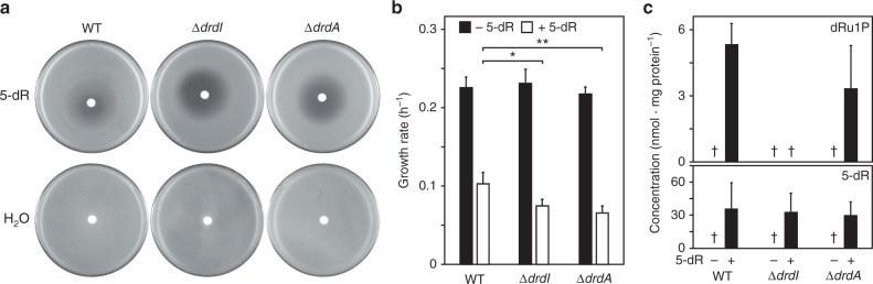 Growth and metabolic phenotypes of drdA and drdI deletant strains. a Deleting drdA or drdI exacerbates 5-deoxyribose toxicity. A disc containing 10 µL of 1 M 5-deoxyribose was applied to lawns of B. thuringiensis wild type (WT) or deletant cells. Note the larger zone of growth inhibition for the deletant strains. b Similarly, adding 1 mM 5-deoxyribose (5-dR) to liquid medium reduced the growth rate of the deletant strains significantly more than the wild type. Data are means of four replicates or three replicates for the Δ drdI strain; error bars are the s.d. Significance was determined by t -test, * P