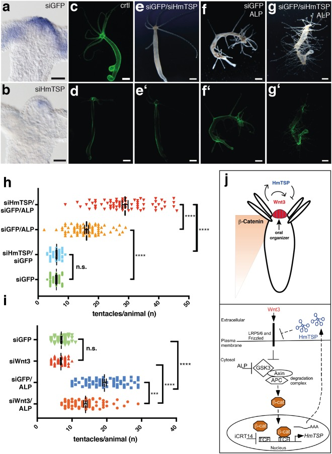Functional analysis of HmTSP by siRNA knockdown. ( a ) ISH analysis of HmTSP expression in control GFP -transgenic animals electroporated with GFP siRNA. ( b ) ISH analysis showing reduced HmTSP expression in animals electroporated with HmTSP siRNA. Bars = 100 µm. ( c , d ) Demonstration of effective siRNA knockdown for GFP in transgenic hydra with ectodermal GFP expression. ( c ) Untreated control animal. D. Representative animal of the same transgenic strain as in C 8 days after electroporation with GFP siRNA. Bars = 500 µm. ( e– e') Treatment with combined siGFP and siHmTSP does not induce morphological changes in steady state polyps. ( f , g ) Treatment with ALP of siTSP electroporated animals resulted in a dramatic increase of ectopic tentacles compared to the siGFP-treated control group. f' and g' show the reduced GFP expression in the respective animals. Each panel representative of at least 10 hydras examined. ( h ) Quantification of ALP-induced ectopic tentacles in animals electroporated with siGFP or siGFP and siTSP. Animals electroporated with the respective siRNAs without subsequent ALP treatment served as controls. ALP treatment was performed 8 days after electroporation and the numbers of tentacles/animal in each group were counted 5 days after ALP treatment. Animals in d and e were recorded at the same time point after electroporation as animals in f and g. Animals (n) in each group were: siGFP = 67; siGFP/siTSP = 67; siGFP/ALP = 71; siGFP/siTSP/ALP = 71. ( i ) Effect of Wnt3 depletion on ectopic tentacle formation: Animals were electroporated with siRNAs specific for GFP or directed against Wnt3 and GFP followed by ALP- or control treatment as indicated. Ectopic tentacle formation was analyzed as described above ( h ). Number of polyps analyzed in each group was: siGFP: 74, siGFP/siWnt3: 76, siGFP/ALP: 79, and siGFP/siWnt3/ALP: 81. ( h and i show the results from three independent experiments. Each data point represents a single hydra, bars indicate 