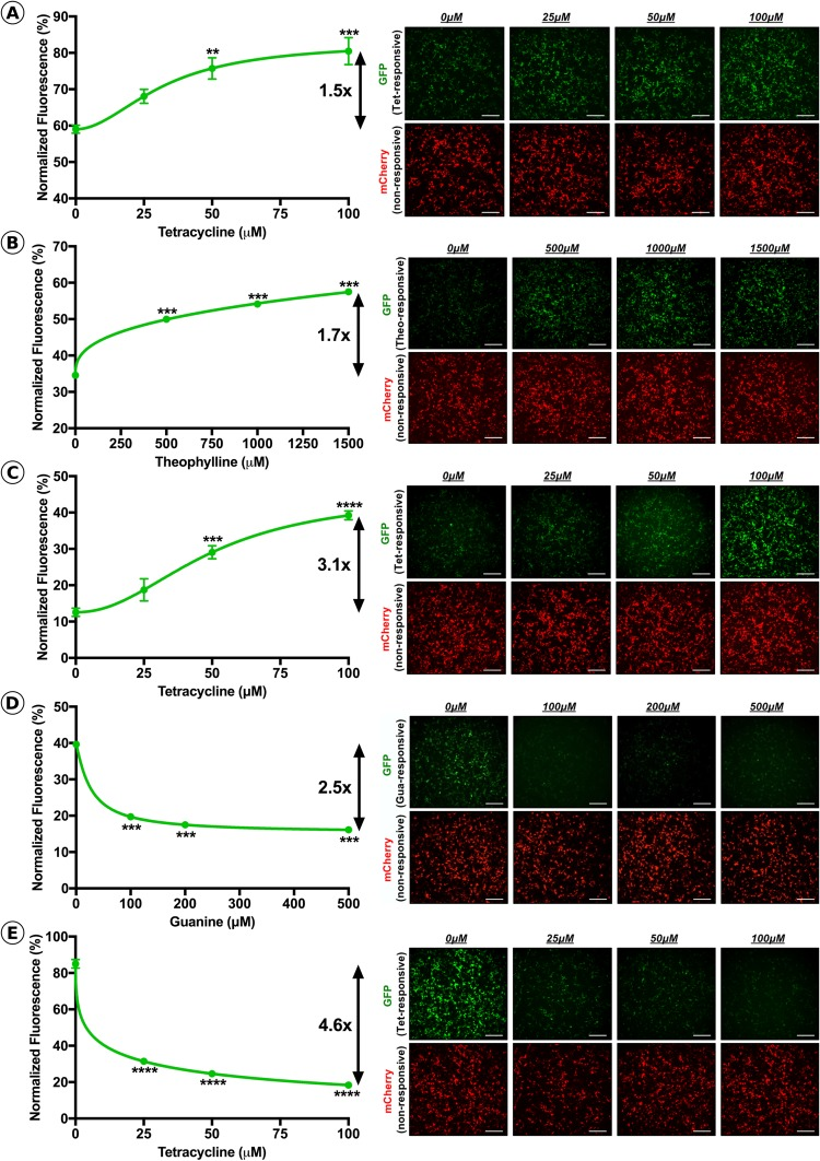 Assessment of riboswitch dosing kinetics in HEK293T cells. Normalized GFP fluorescence and representative GFP (inducible) and mCherry (non-inducible) images at varying concentrations of activating ligand for (A) K19, (B) L2Bulge9, (C) L2Bulge18tc, (D) GuaM8HDV and (E) TC45. Dynamic range is represented as fold-change. n = 3 , ** p > 0.01, *** p > 0.001, **** p > 0.001, One-Way ANOVA with Tukey's post-hoc test. For each group, respective fluorescent channels were recorded with constant exposure and gain; scale bars = 50 μM.