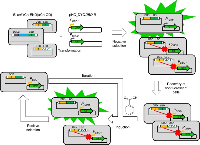 Schematic representation of enrichment process. Chemically competent E. coli (Ch-END)/(Ch-OD) cells (gray rectangles) carrying vectors pCKTRBS/pCKTRBS-OD expressing chimeric TFs were transformed with reporter plasmids pHC_DYO DBD -R as described in Methods. The resulting cells were grown in LB media in the presence of aTc. Under this culture conditions the chimeric TFs were expressed. Every TF contains one out of 15 DBD. In the cells where the DBD of the chimera (represented as yellow and purple rectangles) was able to recognize the operator boxes of the reporter promoter (bent arrows in yellow and purple) introduced in pHC_DYO DBD -R, and it retained its DNA-binding capabilities, the expression of GFP is repressed. On the other hand, GFP was highly transcribed in the cells where the TF was not able to interact with the reporter promoter. The cells showing the lowest levels of GFP expression were recovered using the FACS enrichment described in Methods in the so called Negative Sorting. The recovered cells were grown in the presence of the inducer molecule (benzoate). TFs carrying a functional LBD were able to recognize the inducer and transduce that information to the DBD triggering a conformational change strong enough to detach the DBD from the DNA. Under these conditions bacteria carrying functional TFs would resume the transcription of GFP from the reporter promoter. A FACS sorting allowed to obtain a population enriched in the functional chimeras (Positive Sorting). This enrichment process was iterated
