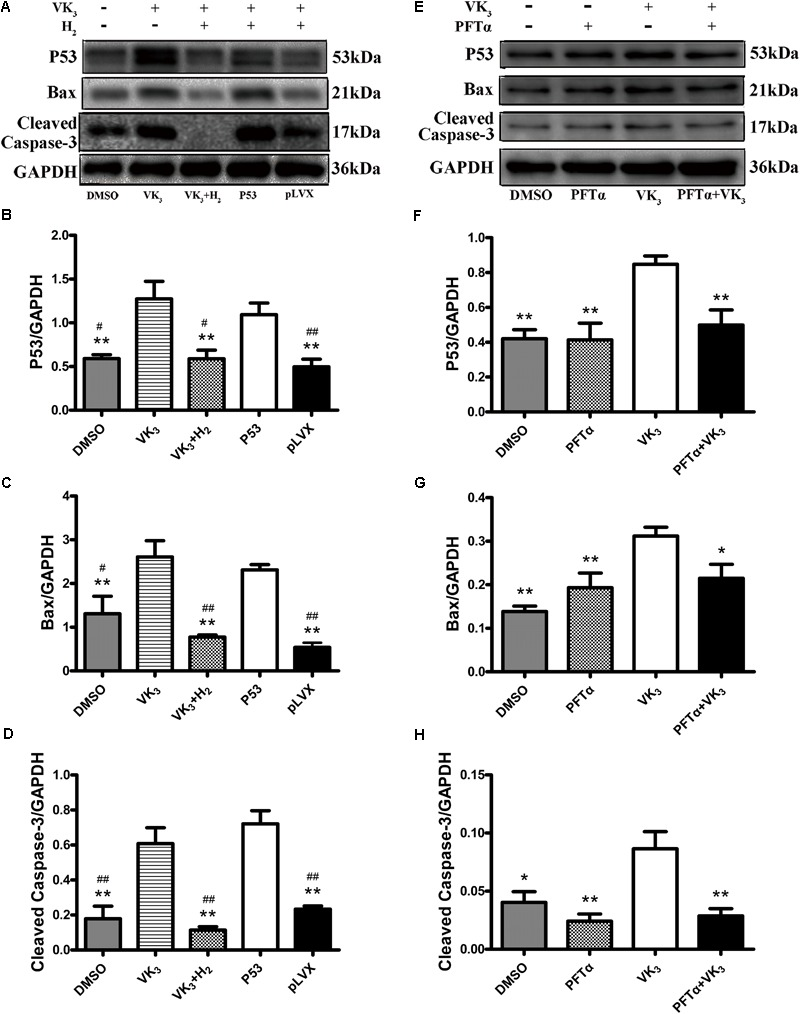 Analysis for effects of H 2 on the expression of p53 in H9c2 cells. (A–D) Overexpression of p53 in H9c2 cells. In the groups of P53 and pLVX, H9c2 cells were infected with p53-lentivirus or pLVX and were selected for 72 h. Then the cells were treated with 10 μM VK 3 and 75% H 2 for 8 h. In the groups of DMSO, VK 3 and VK 3 +H 2 , the cells were treated as the primary cardiomyocytes. (E–H) Inhibition of p53 in H9c2 cells. H9c2 cells were treated with 10 μM PFTα or equivoluminal DMSO for 16 h (DMEM group and PFTα), and then treated with 10 μM VK3 for 8 h (VK3 group and PFTα+VK 3 group). Western blot analysis was performed on 100 g cell lysates with antibodies against p53, Bax, or cleaved caspase-3. GAPDH was used as a loading control. Expressions of p53, Bax, and cleaved caspase-3 were, respectively, quantified as folds of GAPDH ( n = 3–4). The columns indicate the mean, and the bars indicate the SE. ∗ p