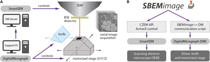 (A) Conventional setup of the <t>3View</t> system. The software SmartSEM (Carl Zeiss Microscopy, Cambridge, United Kingdom), running on the EM Server PC, controls the scanning electron microscope (SEM). The software DigitalMicrograph (Gatan), running on a support PC, controls the 3View hardware (diamond knife and motorized stage). DigitalMicrograph can also indirectly control the SEM via SmartSEM . (B) SBEMimage interacts with SmartSEM through a proprietary remote API, provided by Carl Zeiss Microscopy, and with DigitalMicrograph through a custom-written communication script. SBEMimage can thus control all relevant low-level functions of the SBEM system and exert full control over the acquisition process.