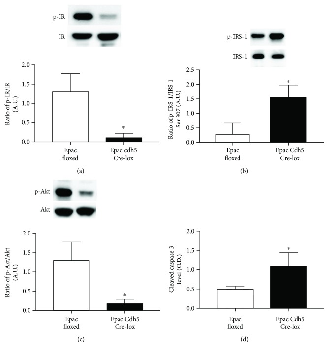 Western blotting for the ratio of phosphorylated insulin receptor on tyrosine 1150/1151 (p-IR) (a), IRS-1 Ser307 (p-IRS-1) (b), and Akt (p-Akt) (c) to total protein in whole retinal lysates from Epac1 floxed mice or Epac1 Cdh5 Cre-lox mice. ELISA results for cleaved caspase 3 (d). ∗ P