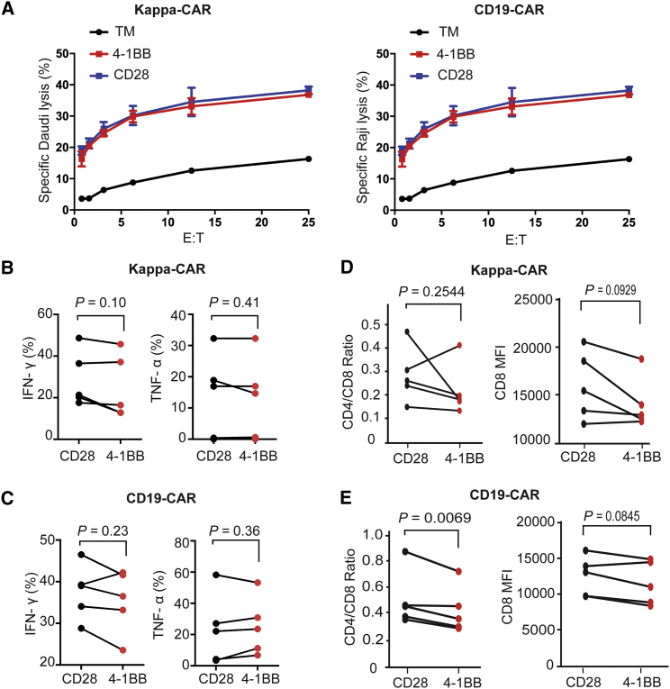 Neither Standard Killing nor Intracellular Cytokine and Ratio of CD4/CD8 Can Distinguish the Difference between 4-1BB-CAR and CD28-CAR (A) Cytotoxicity of Kappa-CAR T cells (left) and CD19-CAR T cells (right) from the same healthy donor was measured using a standard 4-hr 51 Cr-release assay. Daudi cells (the Kappa-positive B cell lymphoma cell line) were used as the Kappa-CAR T cell's target cells. Raji cells (the CD19-positive B cell lymphoma cell line) were used as the CD19-CAR T cell's target cells. PBMCs from five individuals were transduced with 4-1BB construct (red dots) or CD28 construct (black dots) retrovirus. (B and C) Production of TNF-α and IFN-γ by (B) Kappa-CAR and (C) CD19-CAR from five healthy donors. CAR T cells were stimulated with target cells for 6 hr in the presence of GolgiStop and brefeldin A treatment. The percentages of TNF-α or IFN-γ-positive cells were measured by flow cytometry. (D and E) Ratio of CD4/CD8 by (D) Kappa-CAR and (E) CD19-CAR from five individuals. CAR T cell stimulation with corresponding target cells for 6-hr treatment is shown. Surface staining of CD4- and CD8-positive cells was measured by flow cytometry. The ratio of CD4/CD8 and CD8 MFI was calculated by FlowJo software. Error bars show ±SD. The p value is for unpaired t-test.