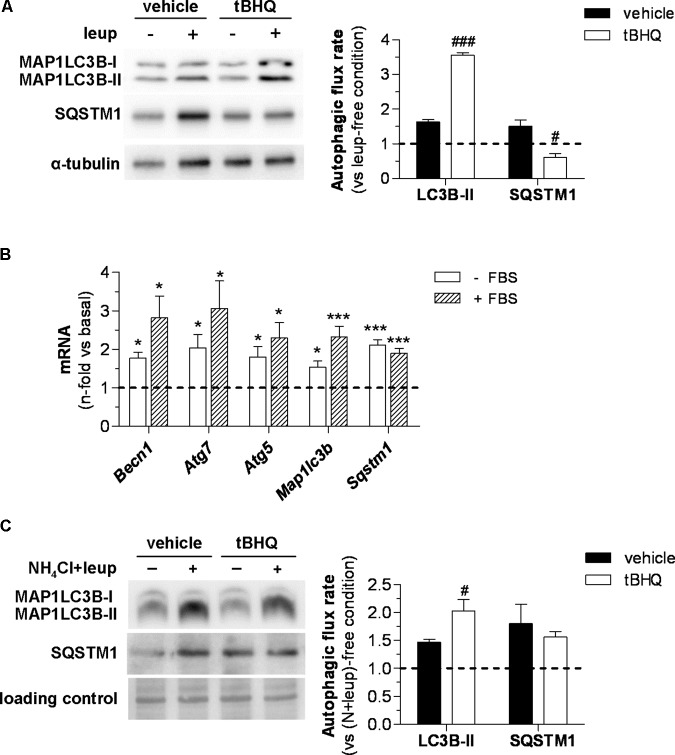In vivo and in vitro effect of tBHQ on autophagic activity. (A) In vivo 2 h blockage of autophagic flux in 6 h starved diabetic mice treated with either vehicle or tBHQ for 3 weeks by intraperitoneal injection of leupeptin (vehicle-group, n = 3; tBHQ, n = 3) or saline (vehicle-group, n = 3; tBHQ, n = 3). Shown are representative blots of MAP1LC3B-II, SQSTM1/p62 and α-tubulin (loading control) and quantification of autophagic flux rate in aortic tissue. (B) Real-time PCR analysis of autophagy genes in VSMC treated with tBHQ 25 μmol/L for 6 h in serum-deprived (-FBS) or serum-supplemented (+FBS) conditions. Data normalized by 18S are expressed as fold increase over respective basal conditions ( n = 9 independent experiments). (C) In vitro blockage of autophagic flux in starved VSMC pretreated with either tBHQ (25 μmol/L, 90 min) or vehicle prior to the addition of lysosomal inhibitors (20 mmol/L NH 4 Cl plus 100 μmol/L leupeptin; N-leup) for 2 h. Shown are representative blots and quantification of autophagic flux rate in VSMC ( n = 7 independent experiments). The rate of autophagic flux is expressed as lysosomal protease inhibitor (leup or N-leup) induced protein accumulation (MAP1LC3B-II or SQSTM1/p62) vs. respective lysosomal protease inhibitor-free condition. Results are expressed as mean ± SEM. ∗ P