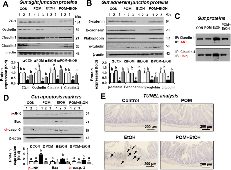 POM prevented the changes in gut TJ/AJ proteins and apoptosis marker proteins in binge alcohol-exposed rats. Representative levels of (A) gut TJ proteins ZO-1, claudin-1, claudin-3, and occludin, (B) AJ proteins (β-catenin and E-cadherin), plakoglobin and α-tubulin, (C) nitrated or ubiquitin-conjugated proteins, (D) apoptosis marker proteins p-JNK, Bax, and cleaved caspase-3, and (E) TUNEL analyses in the indicated groups are shown. The arrows indicate TUNEL positive cells. Densitometric quantitation of the immunoblots for each protein relative to β-actin is shown. (C) The same amounts of intestinal proteins equally combined from 4 rats/group were immunoprecipitated with the specific antibody to claudin-1 and then subjected to immunoblot analysis with the specific antibody to 3-NT (top panel) and ubiquitin (bottom). Significant difference between various treatments was determined by one-way ANOVA. Labeled characters without a common letter represent significant differences from the other group(s).