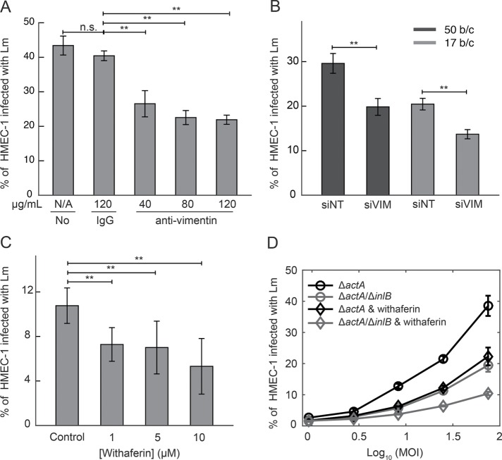 Surface vimentin of HMEC-1 is implicated in Lm uptake. (A) Decrease in bacterial uptake after blocking HMEC-1 with anti-vimentin antibody H-84. Barplots of percentage of HMEC-1 infected with Δ actA Lm (actAp::mTagRFP) as a function of antibody concentration (means ± SD and N = 6 replicates per experiment). Representative data come from one of three independent experiments. Infection was analyzed by flow cytometry, 7–8 h after infection. (B) Barplots of percentage of HMEC-1 infected with Δ actA Lm (actAp::mTagRFP) for cells treated either with nontargeting siRNA (siNT) or with vimentin siRNA (siVIM) (means ± SD, and N = 6 replicates per experiment). Representative data come from one of three independent experiments. MOI is 50 (black barplots) and 17 (gray barplots). (C) Decreased uptake of Lm when HMEC-1 are treated with withaferin that captures soluble vimentin 30 min prior to infection. Barplots of percentage of HMEC-1 infected with Δ actA Lm (actAp::mTagRFP) as a function of withaferin concentration (means ± SD and N = 6 replicates per experiment). Representative data come from one of three independent experiments. Infection was analyzed by flow cytometry 7–8 h after infection. (D) Percentage of HMEC-1 infected with Lm as a function of the logarithm of MOI (mean ± SD, N = 4 replicates). HMEC-1 were infected with the indicated strains: Δ actA (black), Δ actA/ Δ inlB (gray; actAp::mTagRFP), and HMEC-1 were treated with vehicle control (circle) or withaferin (diamond) for 30 min prior to infection. The frequency of infected HMEC-1 was determined by flow cytometry 7–8 h postinfection. Representative data come from one of three independent experiments. MOI ranged from 50 to120. Two asterisks denote statistically significant differences between the medians of infection fraction of control vs. all other groups ( p