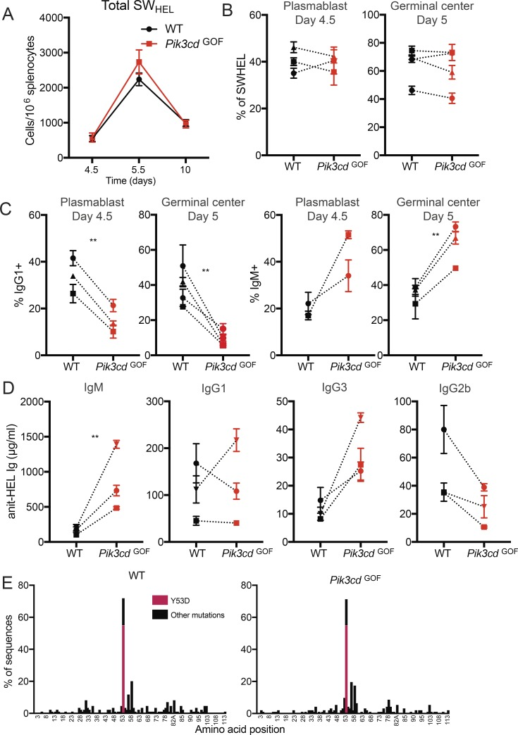Pik3cd GOF B cells show defective switching but normal expansion and affinity maturation in vivo. WT or Pik3cd GOF SWHEL cells were transferred to WT congenic hosts, which were then immunized with HEL-2x-SRBC. (A) The expansion of SW HEL cells was tracked over time (mean ± SEM, n = 3–4 mice per group, representative experiment shown). (B) Percentage of cells with a plasmablast or GC phenotype was determined. (C) Percentage of cells that switched to IgG1 or were unswitched (IgM + ) was determined in the plasmablast and GC populations. (D) Levels of HEL-specific serum Ig of various classes at day 5.5 were determined by ELISA. (B–D, each linked point shows mean ± SEM [ n = 3–5] of single experiment). (E) Donor GC IgG1 + cells were sorted on day 10 and sequenced to identify mutations. Significant differences were determined by paired t tests. **, P