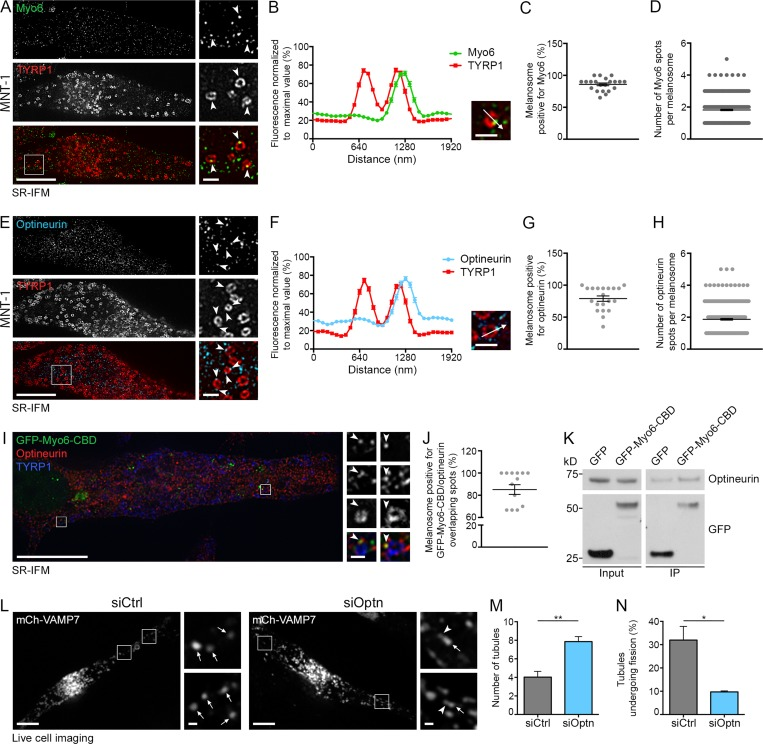 Optineurin associates with Myo6 and releases melanosomal tubules. (A and B) SR-IFM on <t>MNT-1</t> cells costained for endogenous Myo6 and TYRP1 (A) and linear pixel values across n melanosomes (B; n = 130) show Myo6 (A; arrowheads, 4× boxed regions) localization to TYRP1 + melanosomal subdomain. (C and D) Percentage of Myo6/TYRP1 + melanosomes (C; n = 15 cells), and relative number of Myo6 + spots per n melanosome (D; n = 441). (E and F) SR-IFM of MNT-1 cells costained for endogenous optineurin and TYRP1 (E) and linear pixel values across n melanosomes (F; n = 95) show optineurin (E; arrowheads, 4× boxed regions) localization to TYRP1 + melanosomal subdomain. (G and H) Percentage of optineurin/TYRP1 + melanosomes (G; n = 20 cells) and relative number of optineurin + spots per n melanosome (H; n = 400). (I) SR-IFM on GFP-Myo6-CBD–expressing MNT-1 cells labeled for optineurin and TYRP1. Magnified views (4×) show Myo6 and optineurin codistribution on TYRP1 + melanosome subdomains. (J) Quantification of the percentage of melanosomes with overlapping GFP-Myo6-CBD and optineurin subdomains as in I ( n = 14 cells). (K) Western blot analysis of lysates and GFP IPs of GFP- or GFP-Myo6-CBD–expressing MNT-1 cells probed for optineurin or GFP antibodies. (L) Live imaging frames of MNT-1 cells expressing mCh-VAMP7 and treated with control or optineurin (Optn) <t>siRNAs.</t> Magnified areas (4×) of boxed regions in siOptn cells show tubules (arrowheads) associated with melanosomes (arrows). (M) Relative number of mCh-VAMP7 + melanosomal tubules during 40-s movies per 256-µm 2 area of cells treated as in L (siCtrl, n = 4 independent experiments; siOptn, n = 3 independent experiments). (N) Percentage of mCh-VAMP7 + tubules detaching from melanosomes in control- or optineurin-depleted cells (M and N; siCtrl, n = 4 independent experiments; siOptn, n = 3 independent experiments). Molecular masses are in kilodaltons. Data are presented as the mean ± SEM. Bars: (A, E, I, and L) 10 µm; 