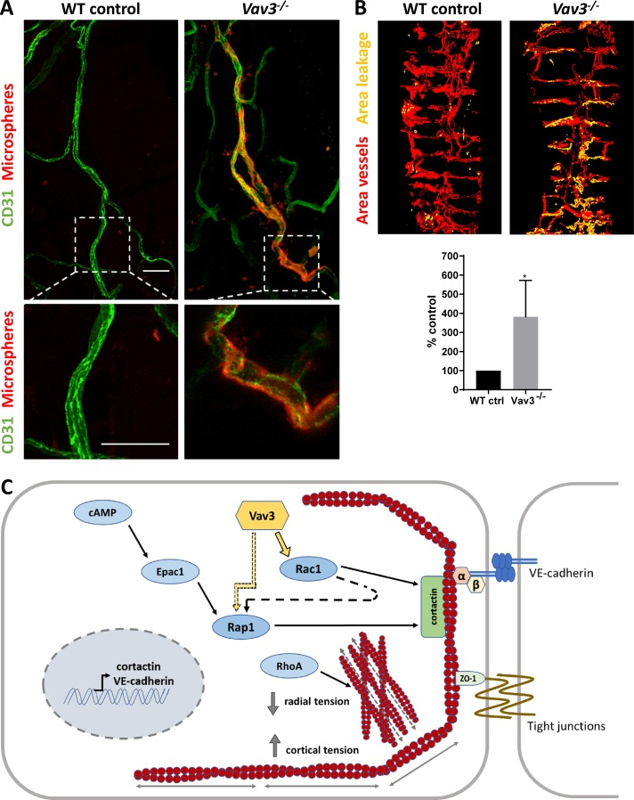 Loss of Vav3 results in microvascular leakage in vivo. (A) Enhanced extravasation of red fluorescent microspheres in the trachea of Vav3 -deficient mice. Control and Vav3 −/− mice were injected (i.v.) with 23-nm red fluorescent microspheres (red) in combination with VEGF (3 μg per animal). Whole-mount preparations of trachea were immunostained with <t>anti-CD31</t> (green). Bottom panels show magnification of boxed area in top panels (bars, 50 µm). (B) Quantification of microvascular leakage by determining area of microsphere extravasation versus total vessel area. Percentage of microsphere extravasation is set to 100% for trachea WT controls compared with Vav3 −/− (mean ± SEM; *, P