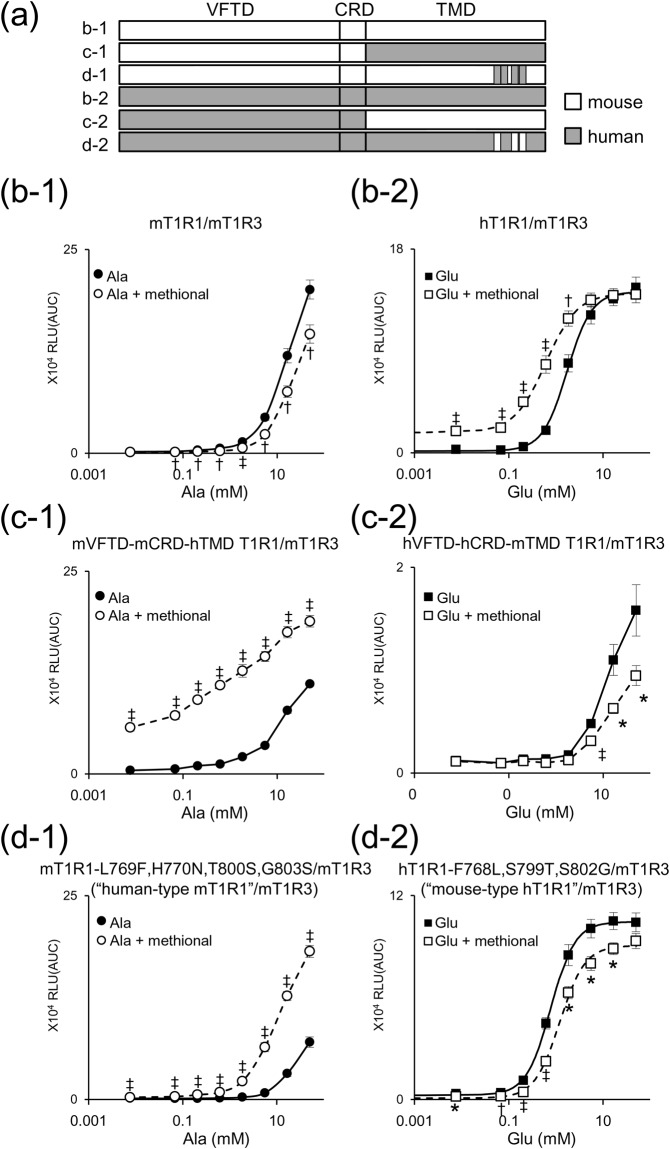 Identification of residues that engendered a switch in the PAM/NAM mode of methional activity. ( a ) T1R1 chimeras were designed to contain human (gray) and mouse amino acid sequences (white). ( b–d ) Dose-dependent responses to l -Ala ( b-1 , c-1 , d-1 ) or l -Glu ( b-2 , c-2 , d-2 ) were obtained for each T1R1 paired with mouse T1R3. Significant differences between amino acid responses with and without 120 μM methional were analyzed using Student's t test (* p