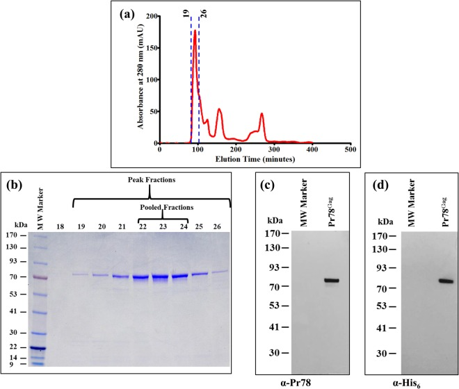 Fractionation of IMAC-purified recombinant Pr78 Gag protein by <t>size</t> <t>exclusion</t> <t>chromatography.</t> ( a ) Absorbance versus elution time chromatogram plotted from the data obtained from a Superdex 200 column showing peak fractions with maximum absorbance containing purified recombinant full-length MPMV Pr78 Gag -His 6 -tag fusion protein expressed from FN1. ( b ) Coomassie Brilliant Blue-stained SDS-polyacrylamide <t>gel</t> showing the resolution of purified recombinant full-length MPMV Pr78 Gag -His 6 -tag fusion protein expressed from FN1 in fractions 18–26. ( c ) Western blot analysis of pooled peak fractions (22–24) of purified recombinant full-length MPMV Pr78 Gag -His 6 -tag fusion protein analyzed with anti-Pr78 Gag polyserum, and ( d ) anti-6x-His monoclonal antibody, respectively.