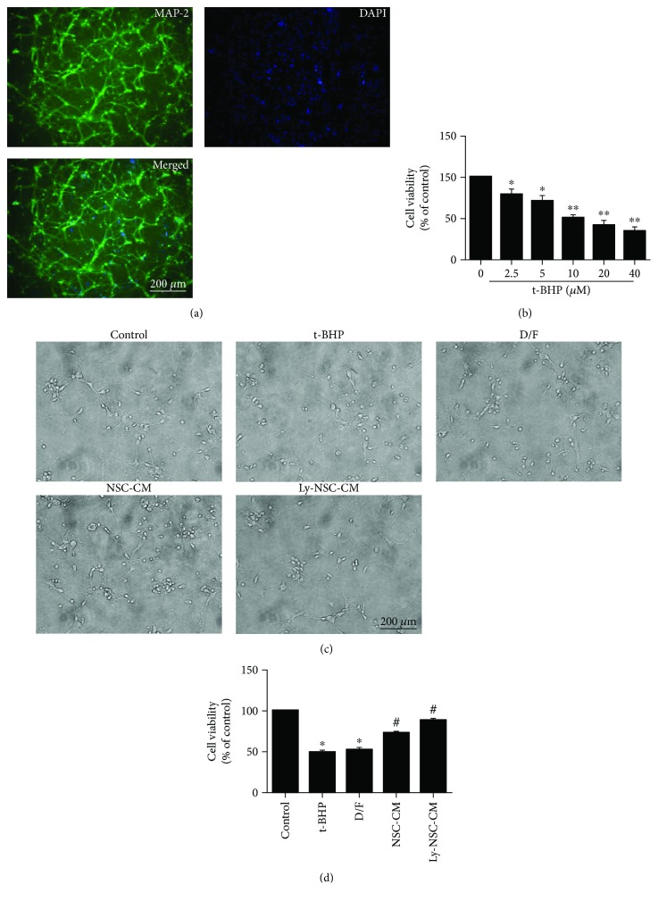 The effects of Ly-NSC-CM treatment on neuronal damage. (a) Neocortical neuron identification: analysis of <t>MAP-2</t> (green) protein immunofluorescence in mouse primary neocortical neuron cultures. (b) Neurons were treated with t-BHP from 2.5 μ M to 40 μ M for 24 h, and cell viability was examined by MTT assay. (c) The morphology of neocortical neurons and their neurite extensions. (d) Neuronal cell viability according to an MTT assay. n = 3 per group. Data are described as mean ± SEM. ∗ P