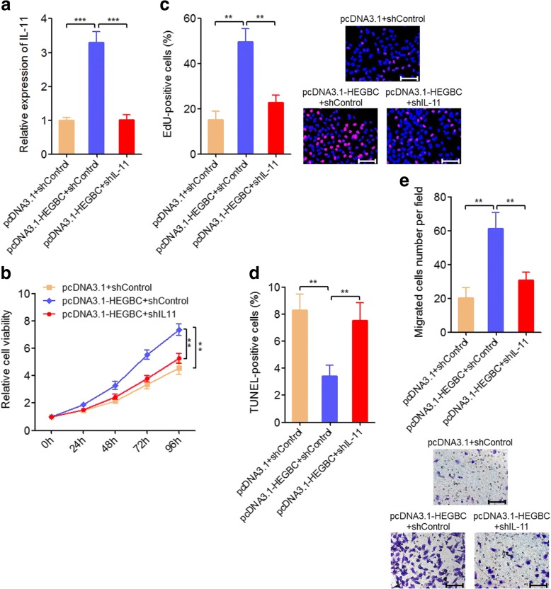 Depletion of IL-11 attenuated the oncogenic roles of HEGBC in GBC cells. a The expression of IL-11 in HEGBC stably overexpressed and control NOZ cells transfected with IL-11 specific shRNA was detected using qRT-PCR. b Cell proliferation of HEGBC stably overexpressed and control NOZ cells transfected with IL-11 specific shRNA was detected using Glo cell viability assay. c Cell proliferation of HEGBC stably overexpressed and control NOZ cells transfected with IL-11 specific shRNA was detected using EdU incorporation assay. The red color represents EdU-positive cells. Scale bars, 100 μm. d HEGBC stably overexpressed and control NOZ cells transfected with IL-11 specific shRNA were treated with 5 ng/ml doxorubicin for 24 h, and then cell apoptosis was detected using TUNEL assay. e Cell migration of HEGBC stably overexpressed and control NOZ cells transfected with IL-11 specific shRNA was detected using transwell assay. Scale bars, 100 μm. Results are shown as mean ± s.d. of 3 independent experiments. ** P