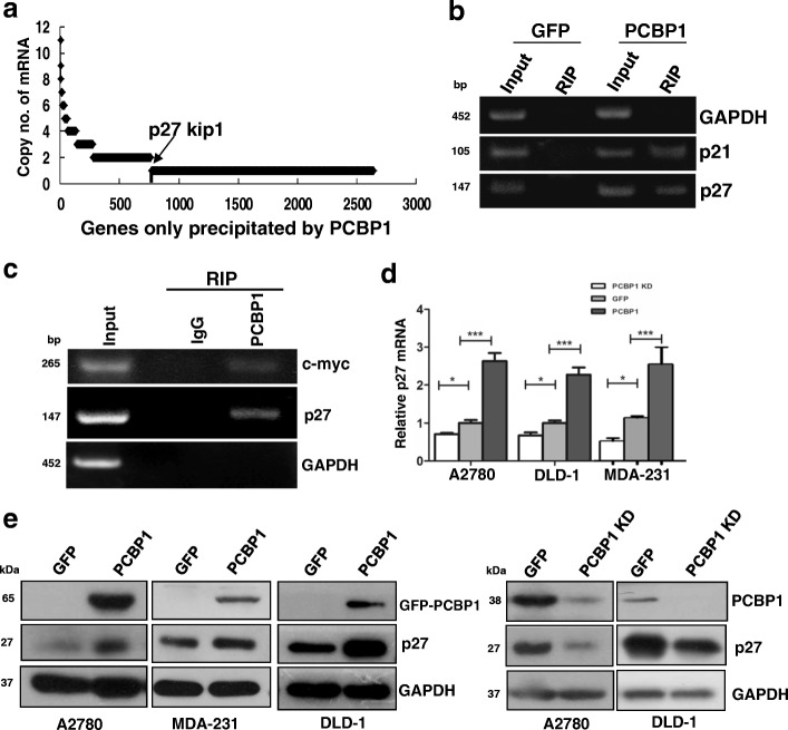 PCBP1 binds to p27 transcript to increase its expression. ( a ) Identification of the purely PCBP1-bound mRNAs by RNA sequencing. mRNA numbers are indicated as copy number. ( b ) RT-PCR validation of PCBP1-associated p27 mRNA from the precipitated mRNA pools in A. p21 and GAPDH transcripts are respectively used as the positive and negative controls of PCBP1-bound mRNA. ( c ) RT-PCR detection of endogenous p27 mRNA immunoprecipitated by PCBP1-specific antibody. Normal IgG is used as negative control for RIP. c-Myc and GAPDH are used as positive or negative control of PCBP1-bound mRNA, respectively. ( d ) Quantitative RT-PCR detection of p27 mRNA in A2780 cells with overexpressing or silencing endogenous PCBP1. Three independent experiments were carried out and analyzed. Data are shown as means±SD. * p
