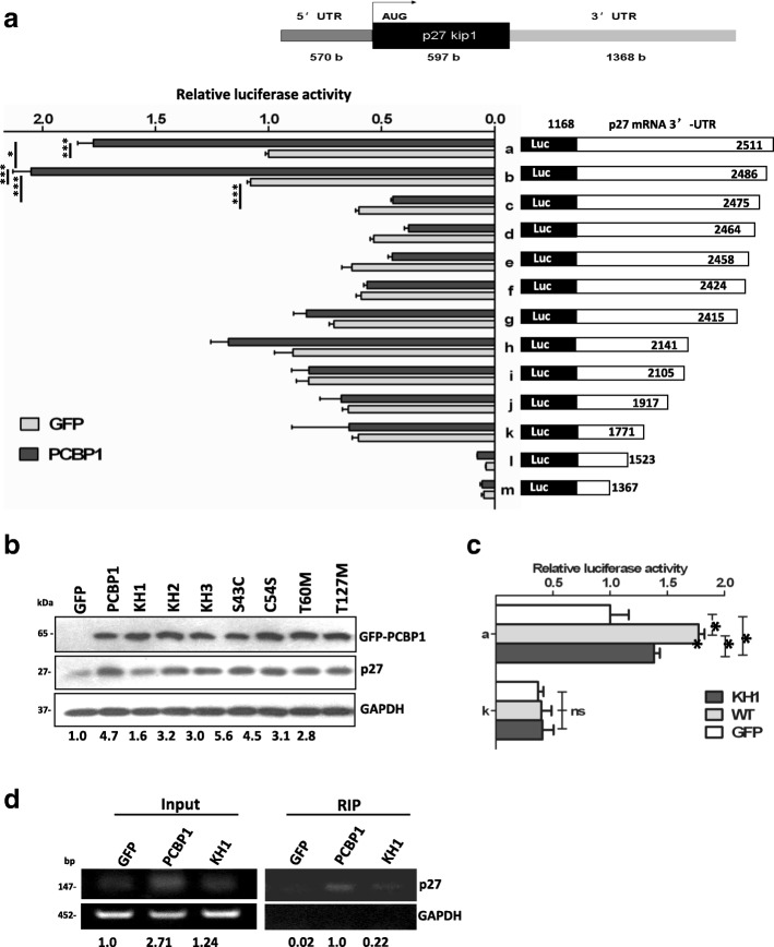 PCBP1 interacts with p27 mRNA 3'-UTR mainly through its KH1 domain. ( a ) Luciferase activities induced by the full-length p27 3'-UTR (construct a) and its serial deletions (construct b-m) in PCBP1 over-expressing cells or the control cells. Top panel shows the schematic diagram of human p27 mRNA. Full-length p27 mRNA 3'-UTR fragment and its deleted mutants were fused downstream of luciferase coding region in pGL3 plasmid. A2780 cells were transiently co-transfected with the indicated constructs with pRL-TK plasmid for 24-48 h and lyzed for enzyme activity measurement. Relative luciferase activity (Firefly/Renilla) was normalized from three independent experiments (mean±SD). ( b ) Immunoblot of p27 protein expression affected by the indicated PCBP1 mutations. A2780 cells transiently transfected with the pEGFP vector (Lane 1) or plasmids coding the wild-type PCBP1 (Lane 2) or its mutations (Lane 3-9) as indicated. The protein band intensity was scanned and measured by Image J software. Relative p27 level against GAPDH is further normalized against GFP and shown at the bottom. Results are representative of at least three independent experiments. ( c ) Effect of PCBP1 KH1 domain to Luciferase activity. A2780 cells were triply co-transfected with luciferase reporter containing full-length p27 3'-UTR (construct a) and plasmids encoding GFP-PCBP1 KH1 mutant, GFP-PCBP1, or GFP with pRL-TK, respectively. 48h after transfection, the enzyme activates were measured as in ( a ) Meanwhile, the reporter plasmid without PCBP1-binding p27 3'-UTR region (construct k), as a negative control, was similarly used for the above triple transfection. Relative luciferase activity (Firefly/Renilla) is presented from three independent experiments (mean±SD). * and ** represent p