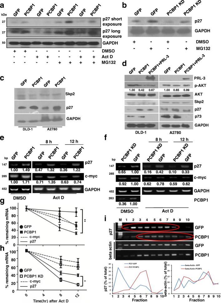 PCBP1 up-regulates p27 expression by enhancing the mRNA stability and translation. ( a ) Immunoblot of endogenous p27 protein levels upon transcription inhibition or/and proteasome degradation repression. A2780 cells overexpressing GFP-PCBP1 or GFP alone were treated with DMSO, Act D at 0.5 μg/ml for 8 h, MG132 at 20 μM for 4 h, or with their combination for 4 h, and analyzed. Results are representative of at least three independent experiments. ( b ) Immunoblot of endogenous p27 protein levels in A2780 cells with endogenous PCBP1 knockdown. Cells were treated with MG132 as in ( a ) ( c ) Immunoblot of p27 ubiquitin ligase Skp2 and p27 expression in the indicated cells. No evident Skp2 expression alteration is shown. ( d ) Immunoblot of the indicated proteins possibly related to p27 protein expression and cell survival. ( e ) Semi-quantitative RT-PCR analysis of p27 or c-myc mRNA stability in A2780 cells overexpressing PCBP1 or GFP control, on condition of Act D treatment to terminate the novel mRNA transcription. c-myc and GAPDH were used as positive and negative controls. The PCR of p27 were performed with 20 cycles, c-Myc with 25 and GAPDH for 20 cycles, respectively. Relative p27 and c-myc level against GAPDH were further normalized against DMSO treated GFP and shown at the bottom. ( f ) Semi-quantitative RT-PCR analyses of p27 or c-myc mRNA stability in A2780 cells with endogenous PCBP1 knockdown by specific shRNAs as the method in E. * p