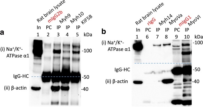 Interaction of multiple myosins with Na + /K + -ATPase α1 subunits expressed in rat brain. WT adult rat brain lysates (In, lane 1 in a and b ) were precleared (PC) with indicated immunoglobulin isotypes (PC; lane2 = mIgG2b, lane 6 = rIgG and lane 9 = mIgG1) prior to immunoprecipitation (IP) using indicated antibodies (IP; lane 3 = myh9, lane 4 = myh10, lane 5 = KIF5B, lane 7 = Myh14, lane 8 = myoVa and lane 10 = myoVI). Loading of PC complexes in the gel preceded those of the IP complexes. Na + /K + -ATPase α1 subunits (i) were co-immunoprecipitated with myh9, myh10, KIF5B, myh14, myoVa and myoVI expressed in rat brain tissues. Co-immunoprecipitation of Na + /K + -ATPase α1 subunits by KIF5B served as a positive control. All the myosins assayed co-immunoprecipitated β-actin (ii). Denatured mouse IgG-HC (i.e., lanes 2–5, 9 and 10; panel (ii)), but not those of rabbit IgG (i.e., lanes 6–8) separated from their intact immunoglobulins (that is used for PC or IP) could be seen as this section was probed with mouse anti-β-actin antibodies