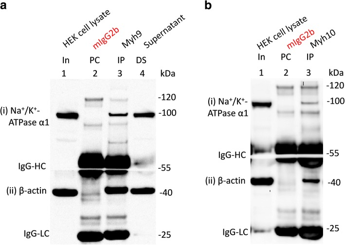 Interaction of non-muscle myosin heavy chains with Na + /K + -ATPase α1 subunits endogenously expressed in HEK293 cells. HEK293 cell lysates (In, lane 1 in a and b ) were precleared (PC) with mouse IgG2b (PC, lane 2 in a and b ) prior to immunoprecipitation (IP, lane 3) using antibodies for myh9 ( a ) and myh10 ( b ). Loading of PC complexes in the gel preceded those of the IP complexes. Immunoprecipitation of myh9 ( a ) and myh10 ( b ) led to the co-immunoprecipitation of Na + /K + ATPase α1 subunits ((i) in a and b ) and β-actin ((ii) in a and b ) expressed in HEK293 cells. Na + /K + -ATPase α1 and β-actin immunoreactive signals in the depleted supernatant lane (DS, lane 4 in a ) indicates that the ATPase survives the IP procedure. Denatured mouse IgG-HC and IgG-LC separated from their intact immunoglobulins (that is used for PC or IP) are seen in ( a and b ) as those blot sections were probed with mouse anti-β-actin antibodies